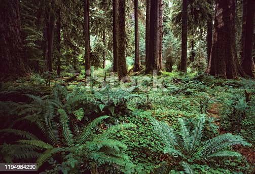 North Cascades National Park -  Ferns on the Forest Floor - 1989. Scanned from Kodachrome slide.