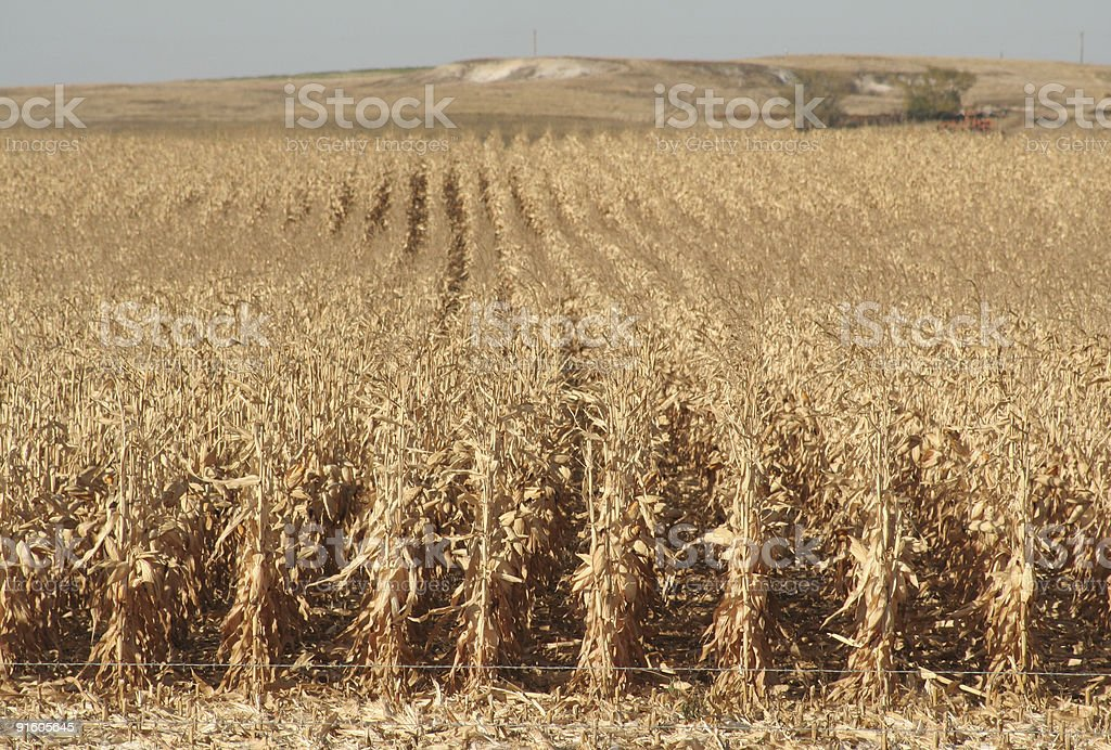 North Dakota Corn royalty-free stock photo