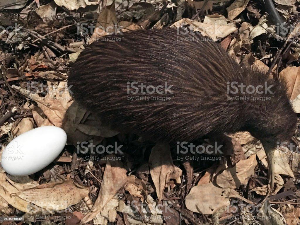 North Island brown kiwi stock photo