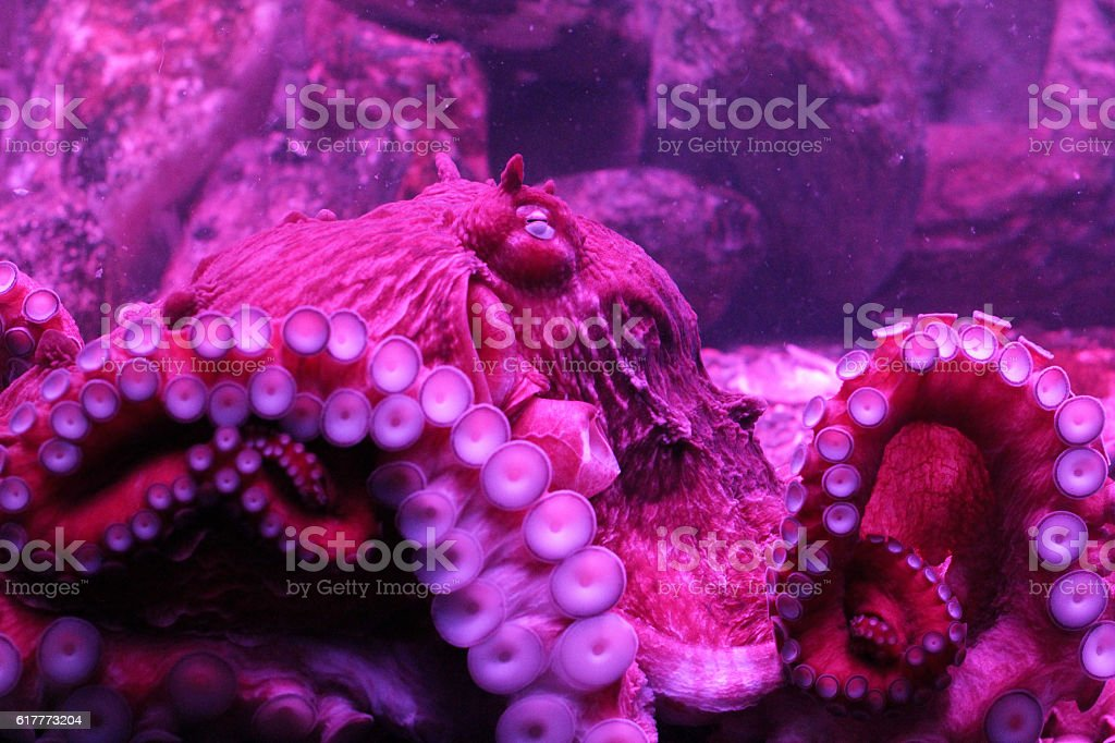 north pacific giant octopus stock photo