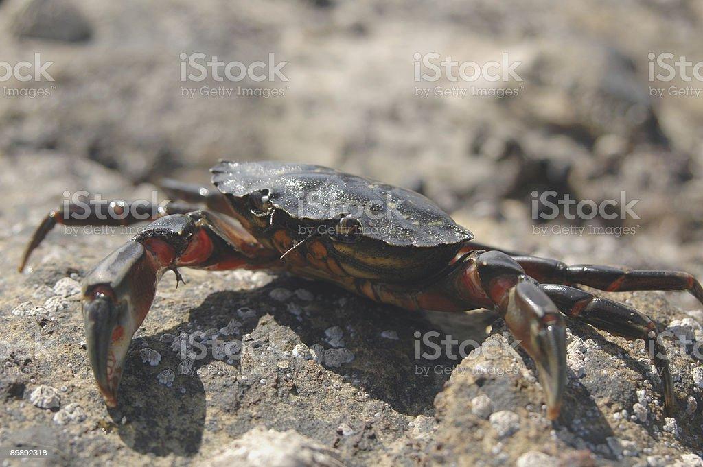 North sea crab on rocky beach royalty-free stock photo