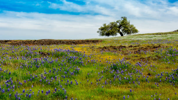 North Table mountain landscape featuring oak and lupinus stock photo