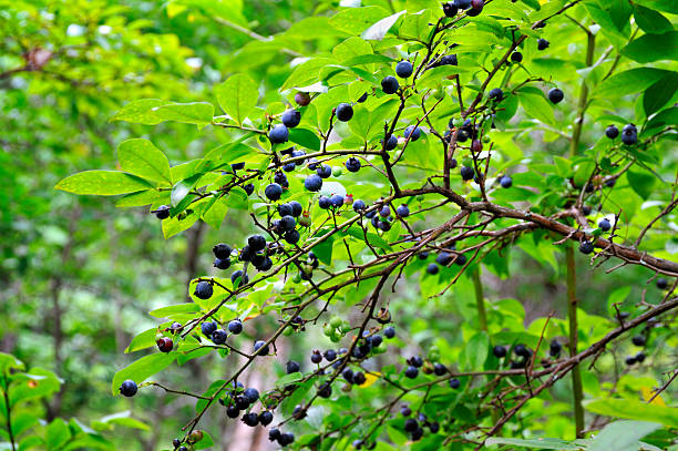 Northeast High-Bush Blueberry Shrub stock photo