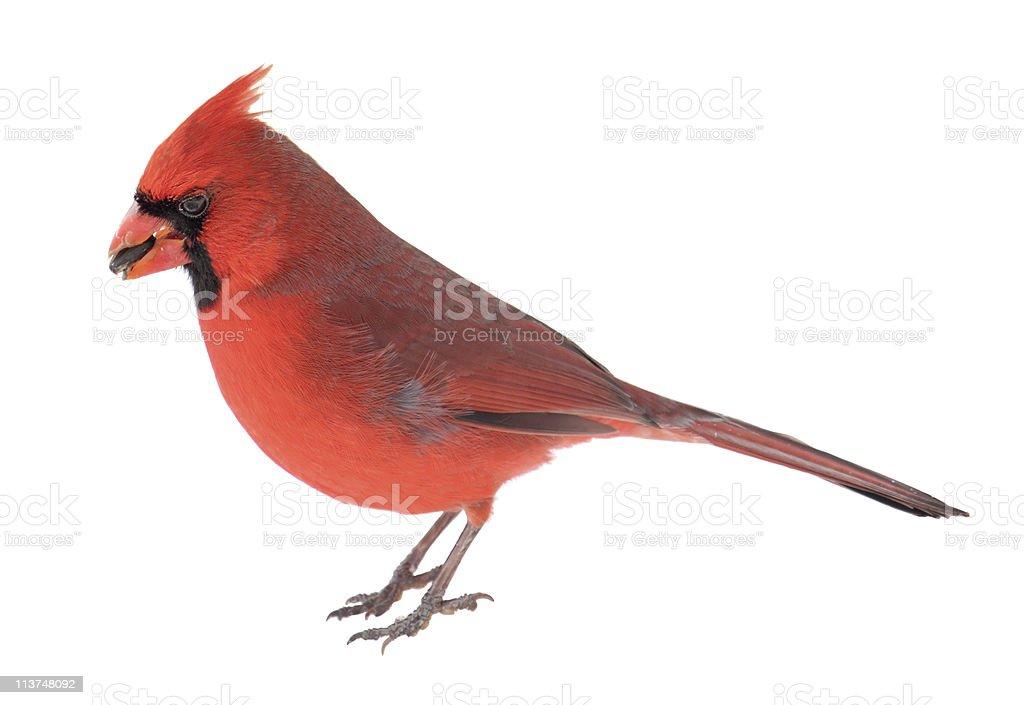 Norther Cardinal, Cardinalis stock photo