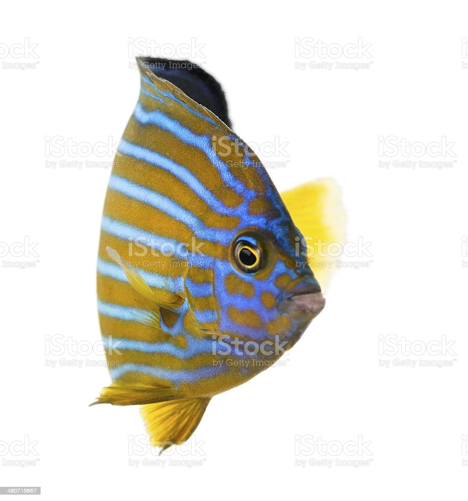 Northern Angelfish, Chaetodontoplus septentrionalis stock photo