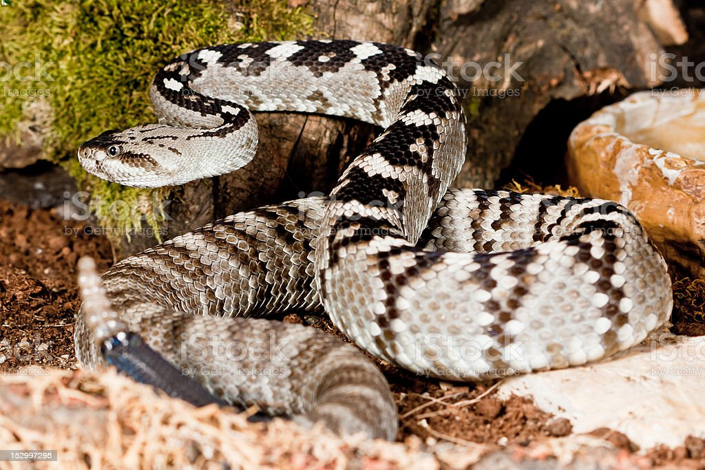 Northern Black-tailed Rattlesnake (Crotalus M. Molossus) royalty-free stock photo
