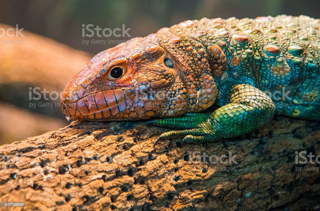 Northern caiman lizard stock photo