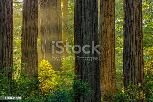 Redwood forest National park in California