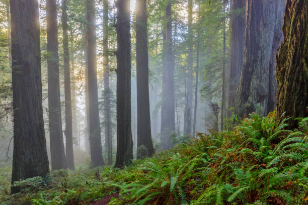 Northern California coastal region of the United States Redwood forest National park in California redwood tree stock pictures, royalty-free photos & images