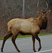 Northern California's Redwood National Park.\nDel North Redwoods State Park Edge.\nNear Crescent City.\n\nThis Beautiful And Majestic Bull Elk Had His Winter Horns Going On.
