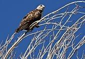 Lower Klamath National Wildlife Refuge.\nNorthern California's Klamath Basin.\n\nAdult Ferruginous Hawk.\nButeo Regalis.