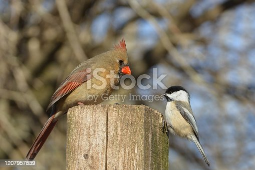 Female Northern Cardinal sits with a  Black Capped Chickadee perched on a post eating bird seed