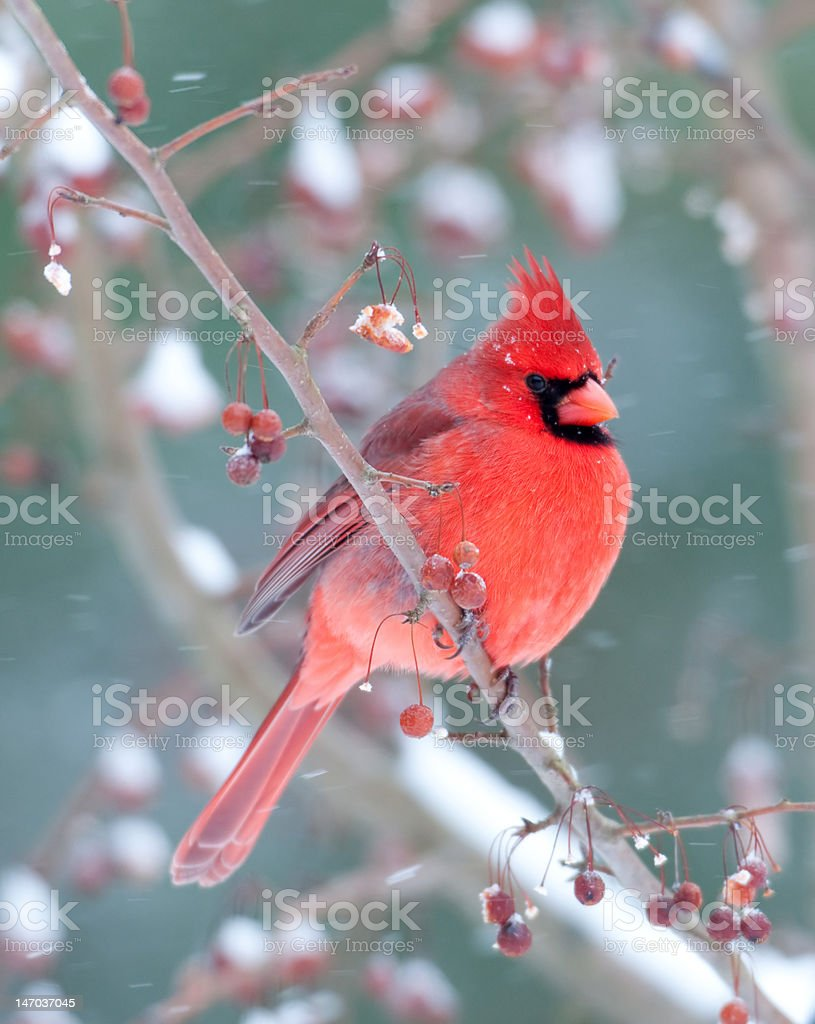 Northern Cardinal and light snow in winter stock photo