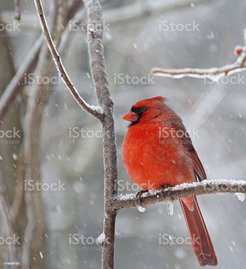 Northern Cardinal, Cardinalis cardinalis foto