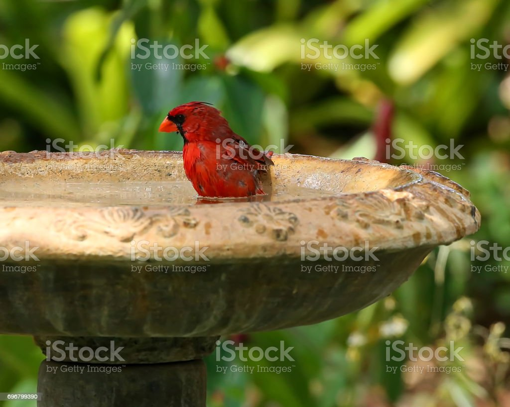 Northern Cardinal gets wet and takes a bath stock photo