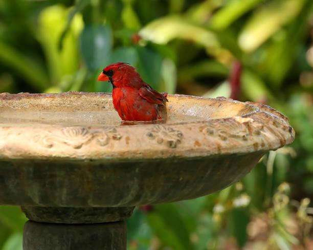 Nördlichen Kardinal nass und nimmt ein Bad – Foto