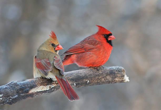 cardinal birds essay