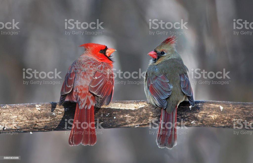 Cardinal rouge en hiver - Photo