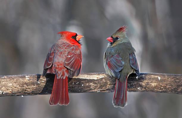 Northern Cardinal in winter Northern Cardinal pair in winter female animal stock pictures, royalty-free photos & images