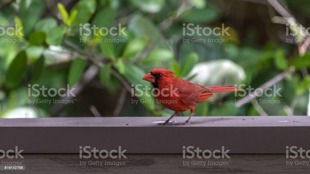 Northern Cardinal, J.N. ''Ding'' Darling National Wildlife Refuge, Sanibel Island, Florida, USA stock photo