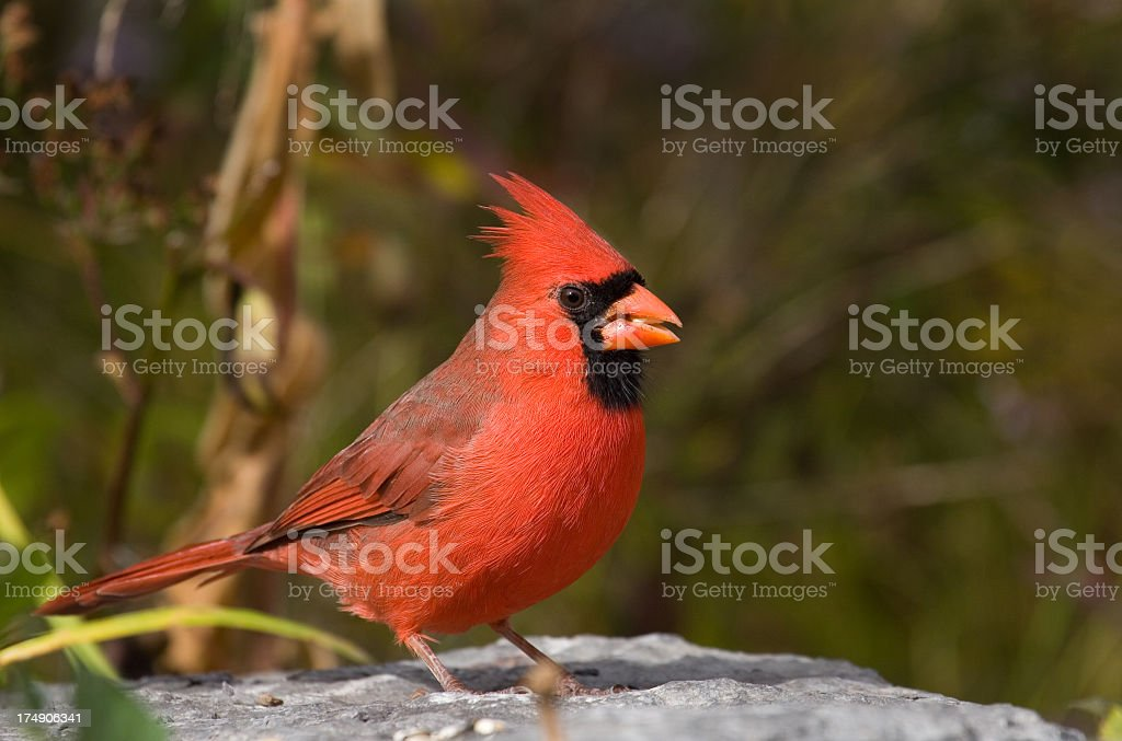 Northern Cardinal - Male royalty-free stock photo