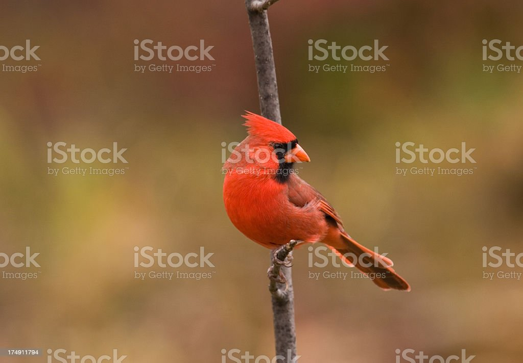 Northern Cardinal - Male stock photo