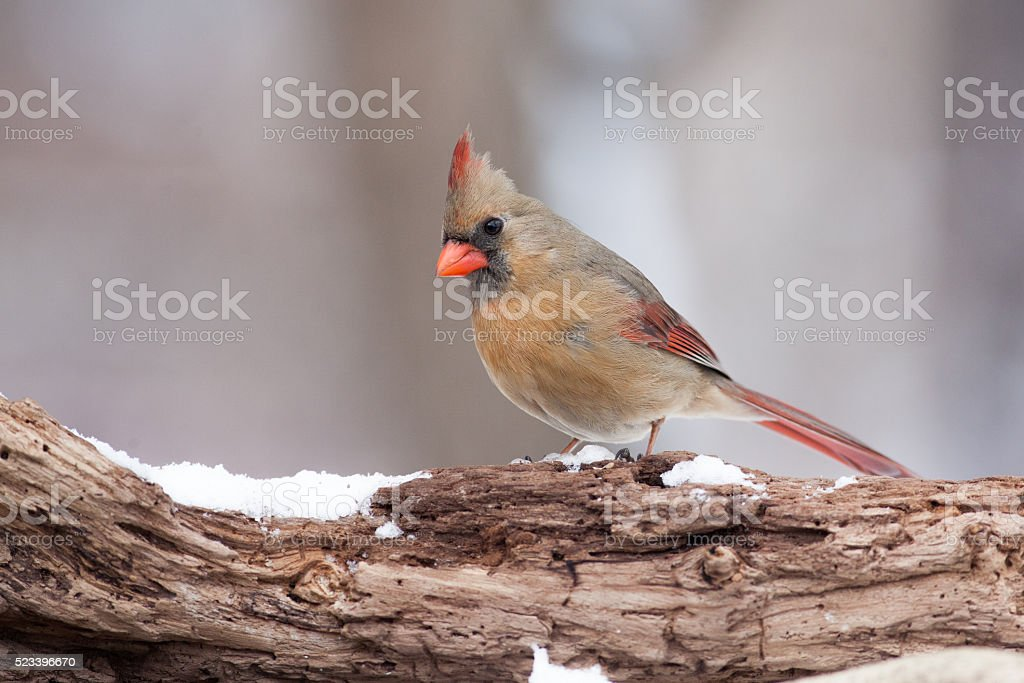 Northern Cardinal on a Natural Wooden Perch stock photo