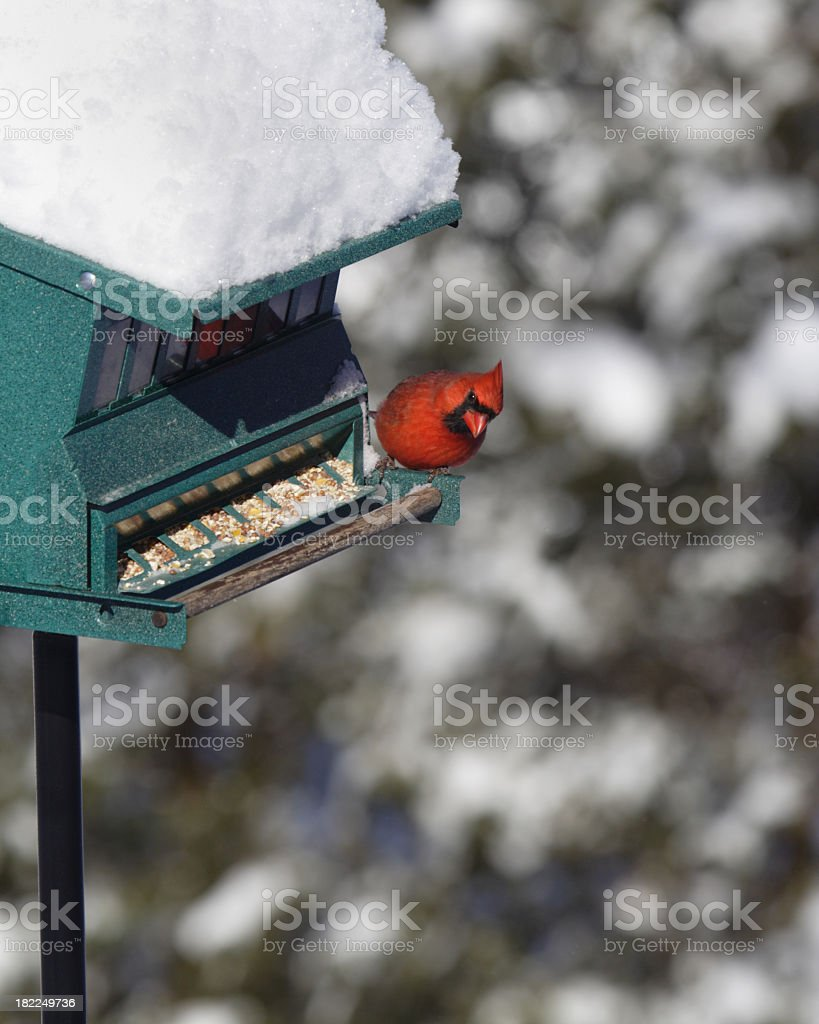 Northern Cardinal Peek-a-Boo on Winter Snow Bird Feeder royalty-free stock photo