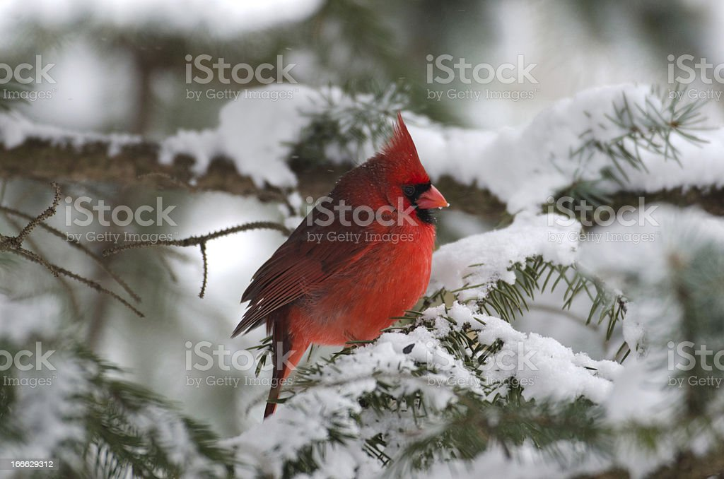 Northern cardinal perched in a tree​​​ foto