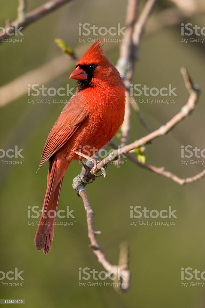 A northern cardinal perched on a branch stock photo