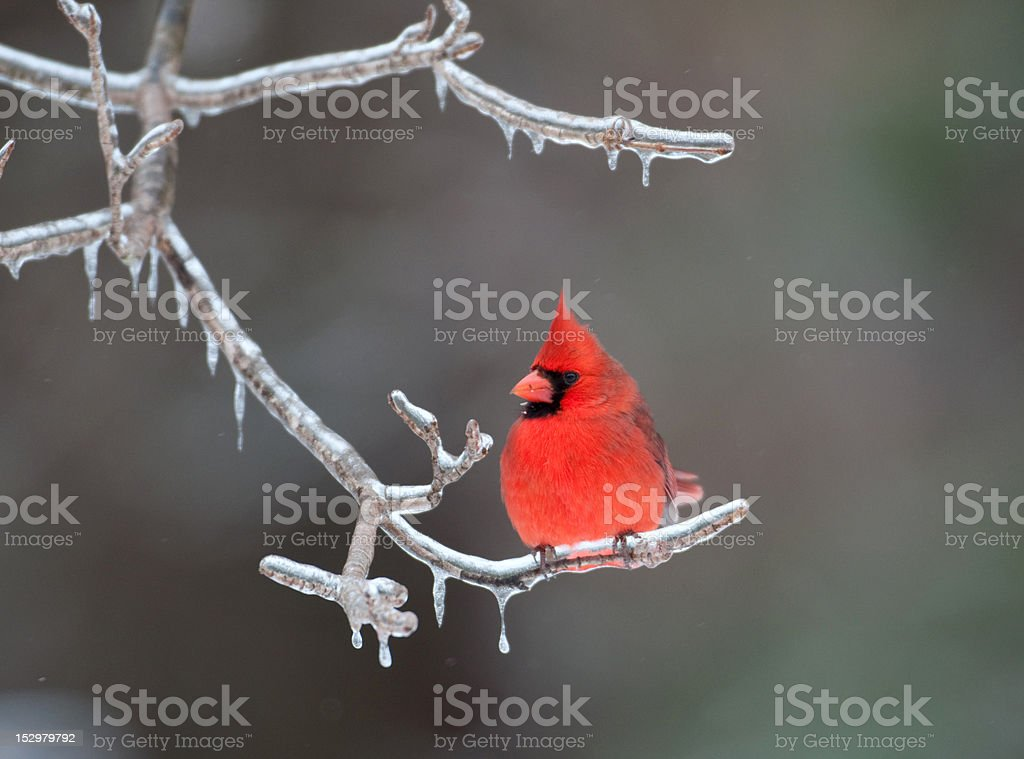 Northern Cardinal perched on branch stock photo