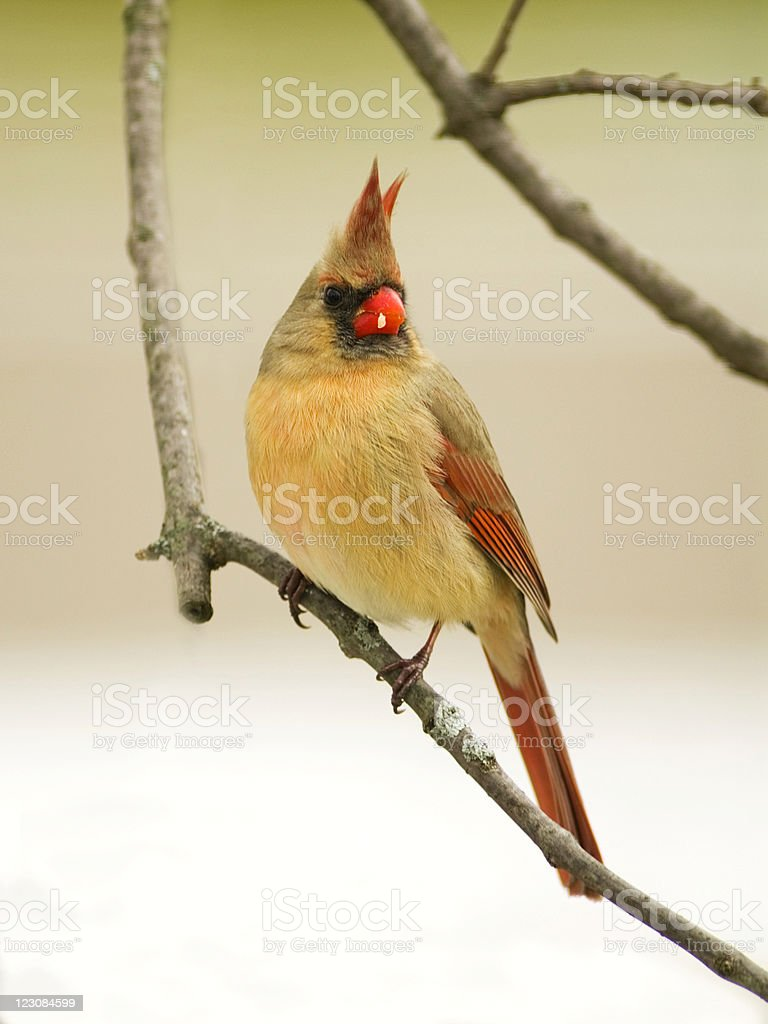 Northern Cardinal Perched on Tree Limb royalty-free stock photo