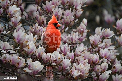 Northern Cardinal perching in flowering bushes in springtime
