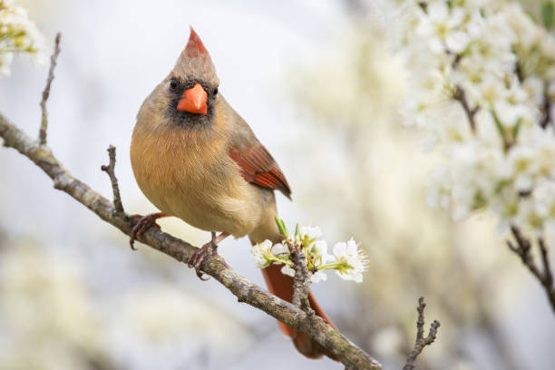 Northern Cardinal A northern cardinal perched in a plum tree. female animal stock pictures, royalty-free photos & images