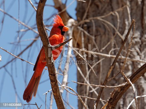a Cardinal sings from his perch in a tree near Patagonia, AZ