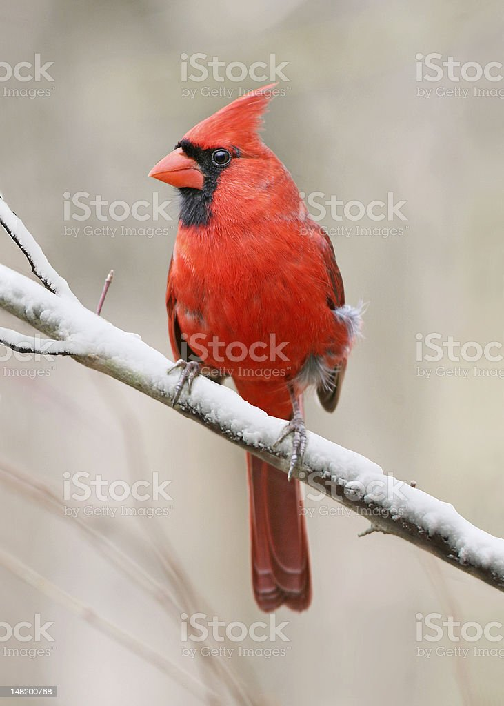 Northern Cardinal stock photo