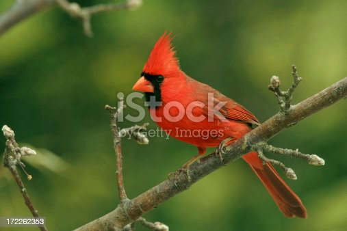 A male Northern Cardinal perches on a tree branch in Virginia on a spring day.