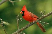 istock Northern Cardinal (Male) 172262353
