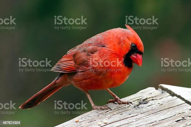 Northern cardinal picture id467624304?b=1&k=6&m=467624304&s=612x612&h=fsl0vikcgatptvnkdo 8t58xfxmx2vpn4kqfotb l9y=