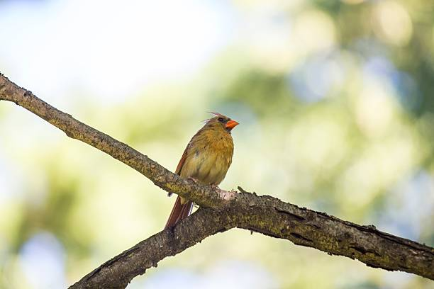 Northern Cardinal (Cardinalis cardinalis) stock photo
