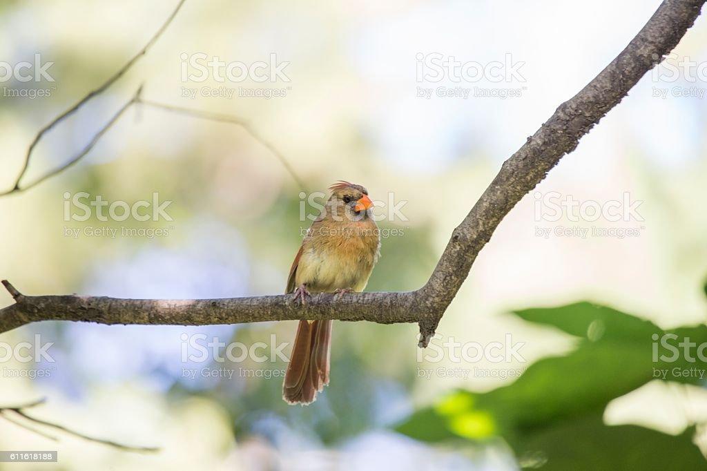 Northern Cardinal (Cardinalis cardinalis) stock photo