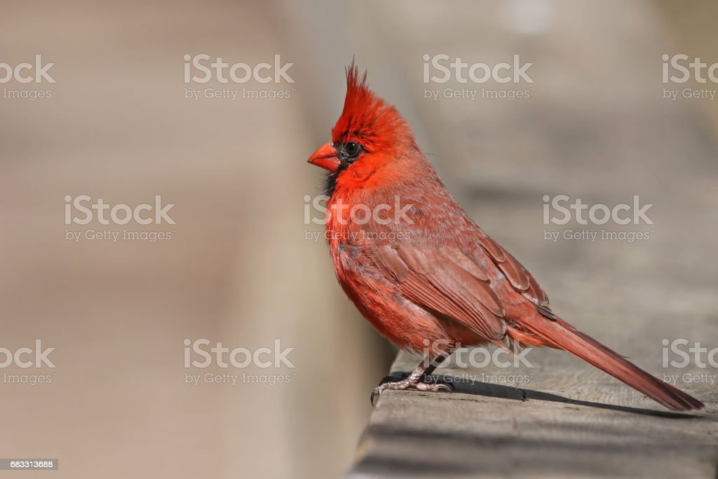 Northern Cardinal (Male) zbiór zdjęć royalty-free