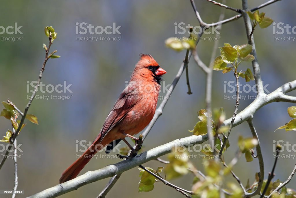 Norra kardinal (hane) royaltyfri bildbanksbilder