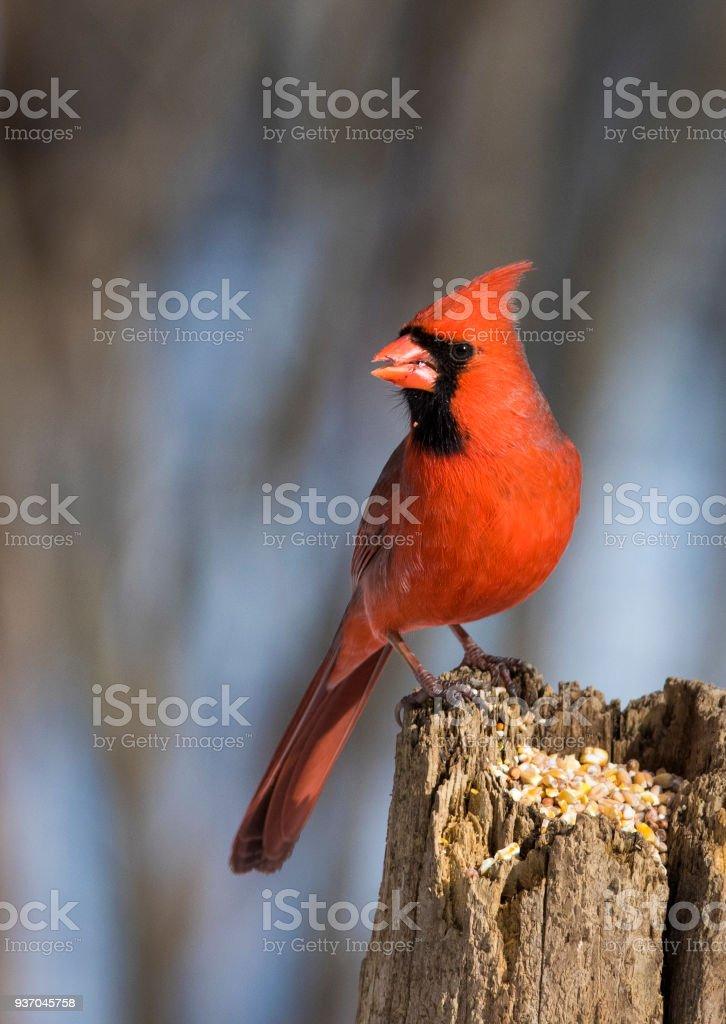 northern cardinal – Foto