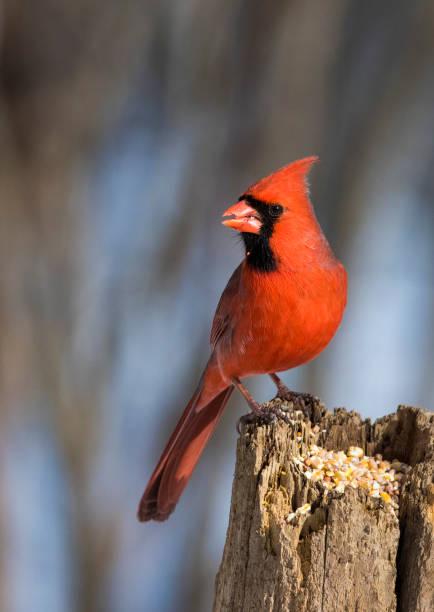 noordelijke kardinaal - vogel herfst stockfoto's en -beelden
