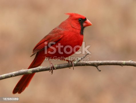 A side view of a velvety red Northern Cardinal.