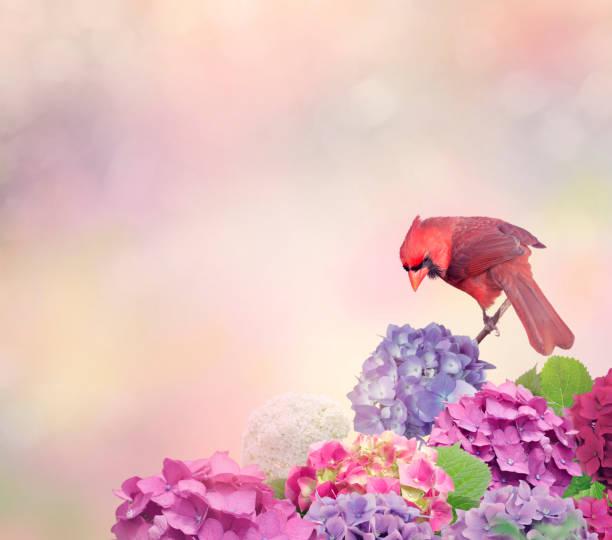 cardinal rouge avec des fleurs d'hortensia - oiseau chanteur photos et images de collection
