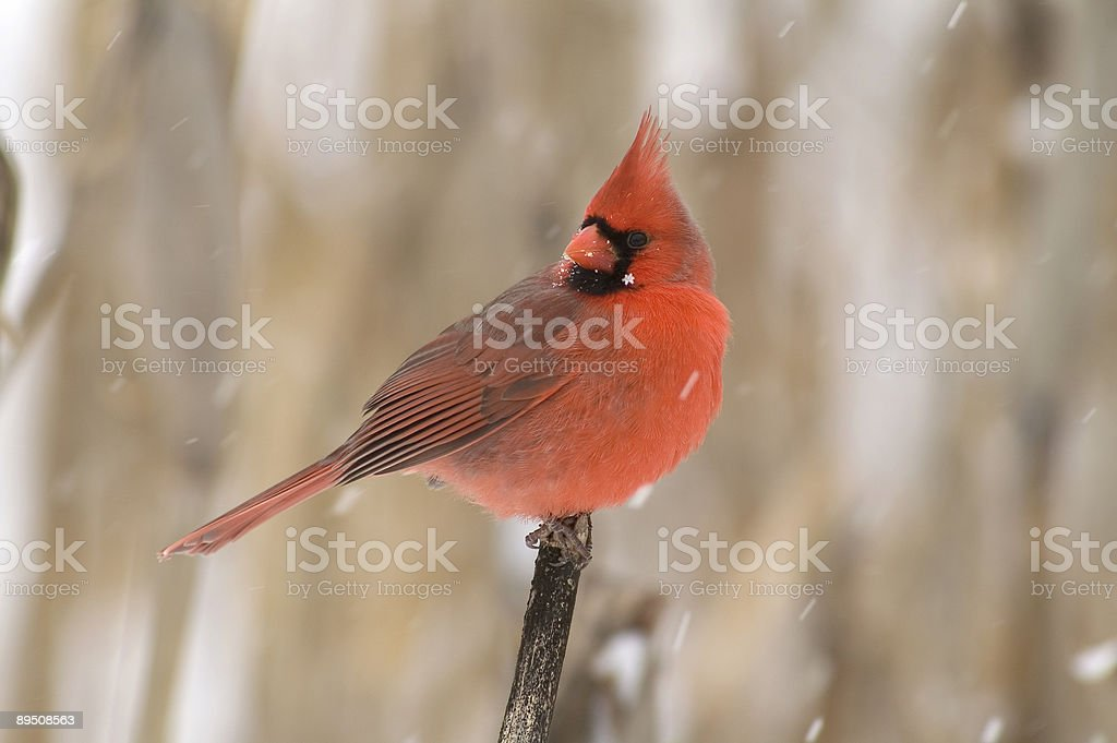 Northern Cardinal-male royalty-free stock photo