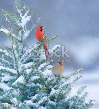 istock Northern Cardinals perched in a snow covered pine tree 182874445