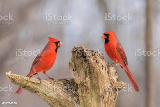 Northern cardinals picture id653764370?b=1&k=6&m=653764370&s=612x612&h=ghzh6ypkvjx466st71sn scqa1er6beoan zoi6m5vk=